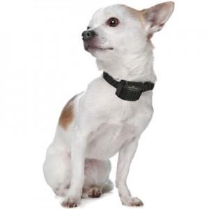 collier-anti-aboiement-petit-chien