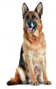 berger-allemand-chien-aboiement